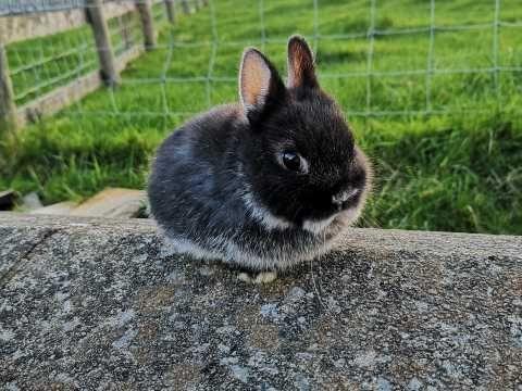 Netherland Dwarf Baby Rabbit For Sale Black Fox Colwyn Bay Conwy Pets4homes Dwarf Baby Baby Rabbits For Sale Rabbits For Sale