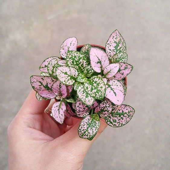 Polka Dot Plant - 10 Pink Indoor House Plants