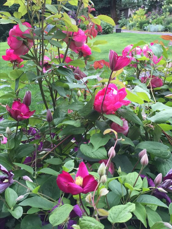 Rosa Benjamin Britten with clematis Ville de Lyon--what a color--pretty much the same color.
