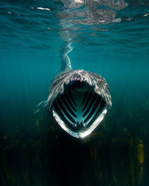 The mouth of a basking shark (Cetorhinus maximus) is the second-largest living fish, after the whale shark, and one of three plankton-eating sharks besides the whale shark and megamouth shark.
