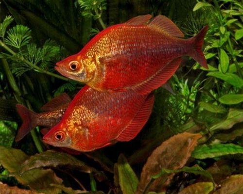 Red Rainbow Tropical Fish Peaceful And Colourful Community Fish Tropical Fish Fish Tropical
