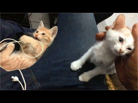 Kittens Playing And Meowing On My Lap In 2020 Kittens Funny Kitten Meowing Cat Mom