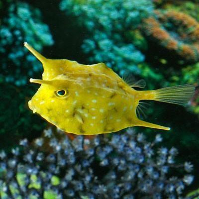 Longhorn Cowfish Cow Fish Saltwater Aquarium Fish Saltwater Fish Tanks