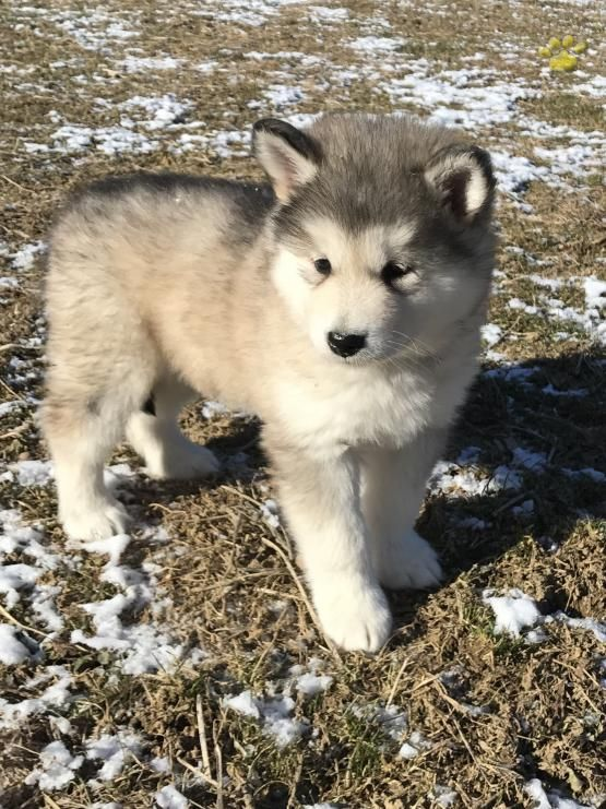 Misty Alaskan Malamute Puppy For Sale In Mifflinburg Pa