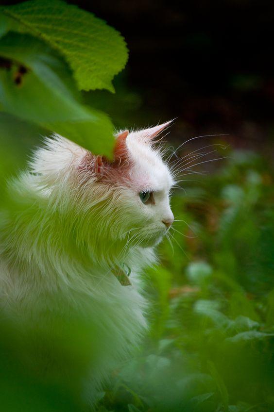 Cattiva Kat's Garten  cat got a sunburn http://cattivakat.tumblr.com/  #cat #rote ohren #katze #sonnenbrand