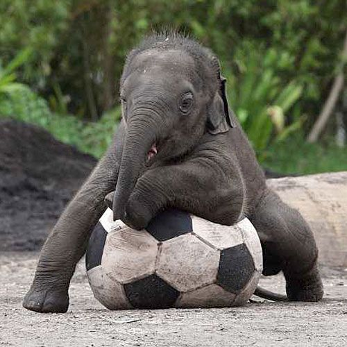 Baby elephant playing soccer...I love elephants!!!