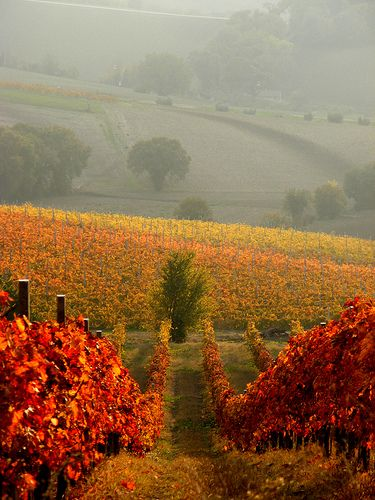 ✯ Grapes on the Vine - Marche, Italy