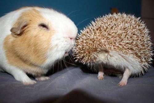 hedgehog meets guinea >.
