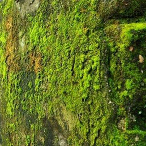Tẩy rêu xanh