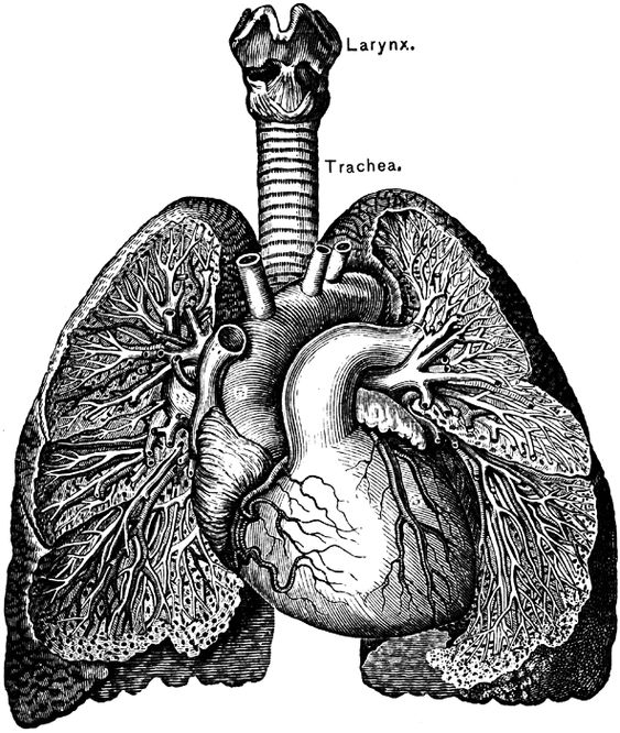 How to Draw Lungs | DrawingNow