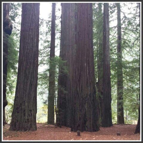 Redwoods beautiful ♡♡