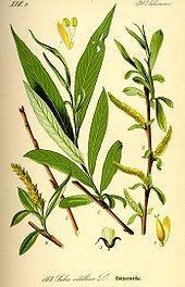 White Willow bark. Boil for your own natural aspirin.  Bark teas are a family flu remedy.