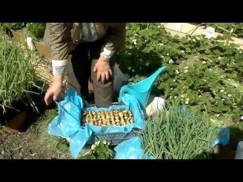Как сажать зеленый лук, чтобы сэкономить место?