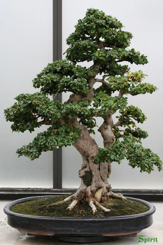 What Is An Outdoor Bonsai Bonsai Tree Bonsai Tree Types