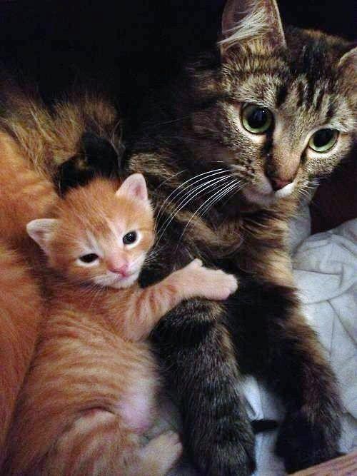Tabby Cat Mother Newborn Kitten Orange Holding Onto Mom Don T