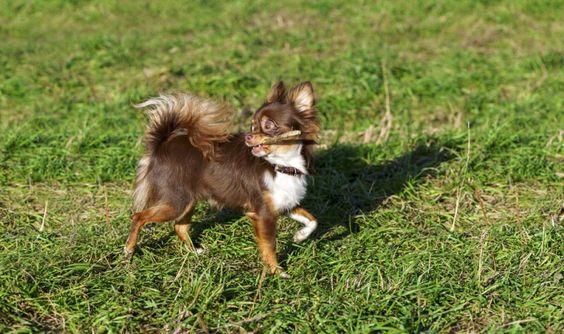 """""""Hol das Stöckchen!"""" - Chihuahua-Hund beim Spielen — Bild: Shutterstock / Nikolai Pozdeev    www.einfachtierisch.de"""