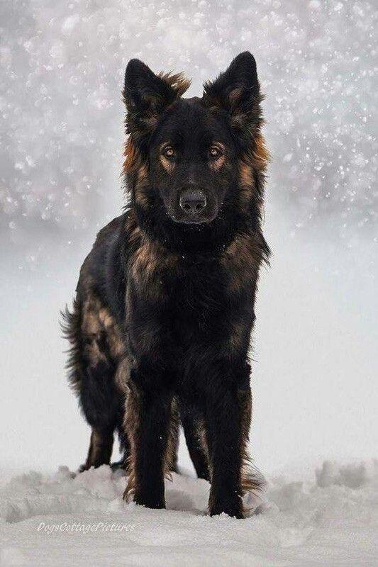 Schaferhund Schwarz Schwarzer Schaferhund Hunde Schaferhunde