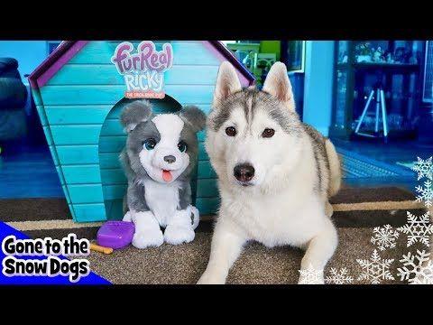 Real Husky Vs Fur Real Husky Husky Reacts Youtube Huskies