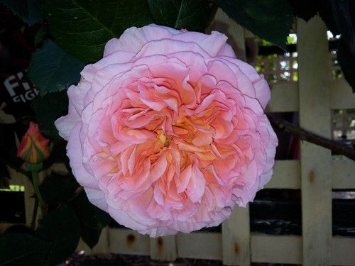 Abraham Darby-David Austin climbing fragrant rose.