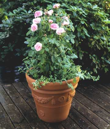 how to grow roses in pots in india