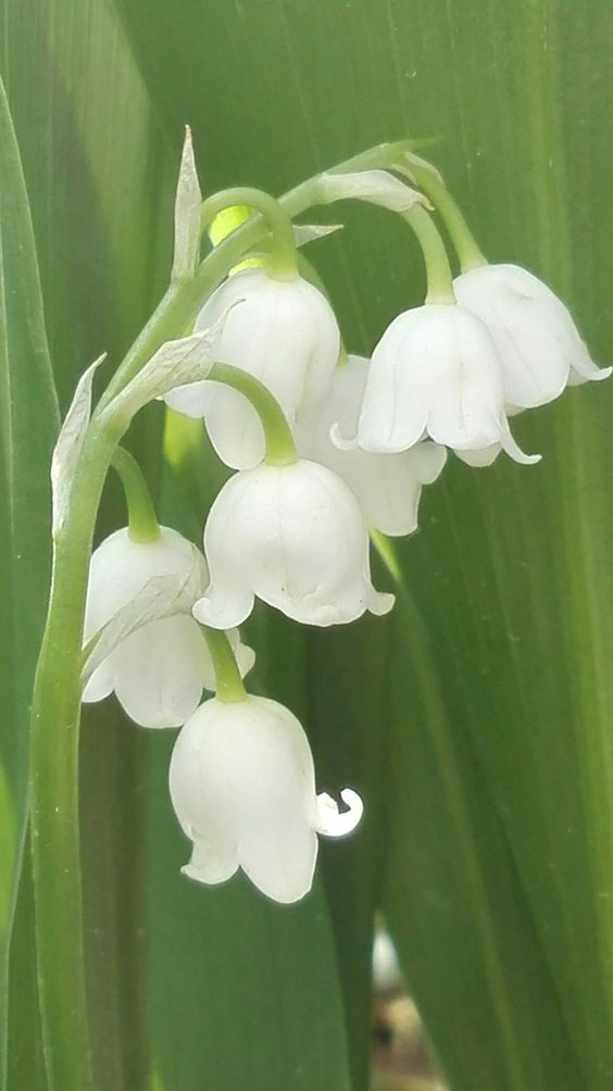 ♥♥♥ Lily of the Valley. A beauty for bridal bouquets.