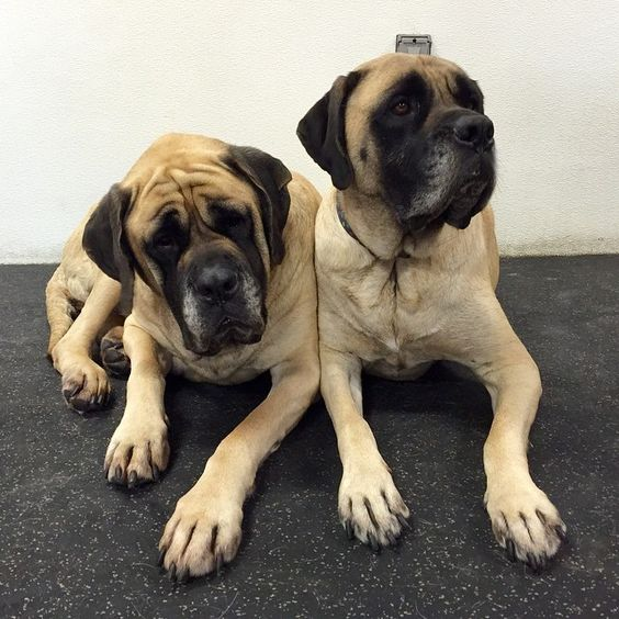 Two of our gentle giants, Matilda & Maddie, snuggled up together this Sunday morning. #englishmastiff #dogs #igers #love
