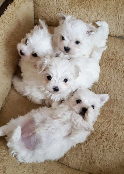 Maltese Puppies For Sale New Castle Pa Yorkies And Malteses