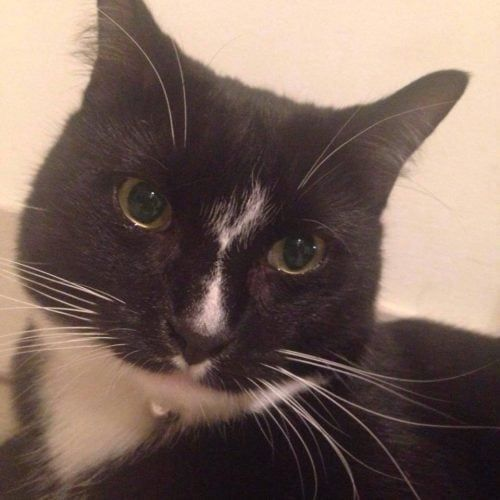 Lost Black White Cat From Westhoxton Liverpool Nsw Lost Cat Cats Black And White
