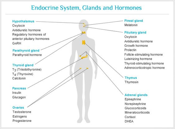 Endocrine and nervous sytem and menstrual cycle?