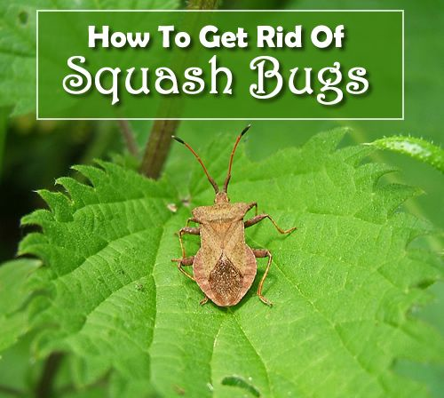 How To Get Rid Of Squash Bugs 3 Simple Tricks You Can Try