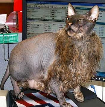 """""""Ugly cat not overly concerned"""" I think I found the end of the interwebz."""