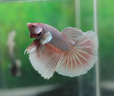 Betta fish betta and dragon on pinterest for Live dragon koi fish