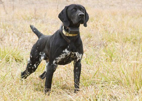 Meet Derek Jeder a cute German Shorthaired Pointer puppy ...  |Black Ticked German Shorthaired Pointer Puppies