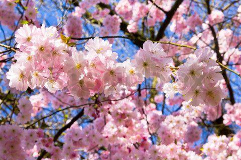 Bild von 'Japanischer Kirschbaum sakura blossomBeautiful rosa Kirschblüten'
