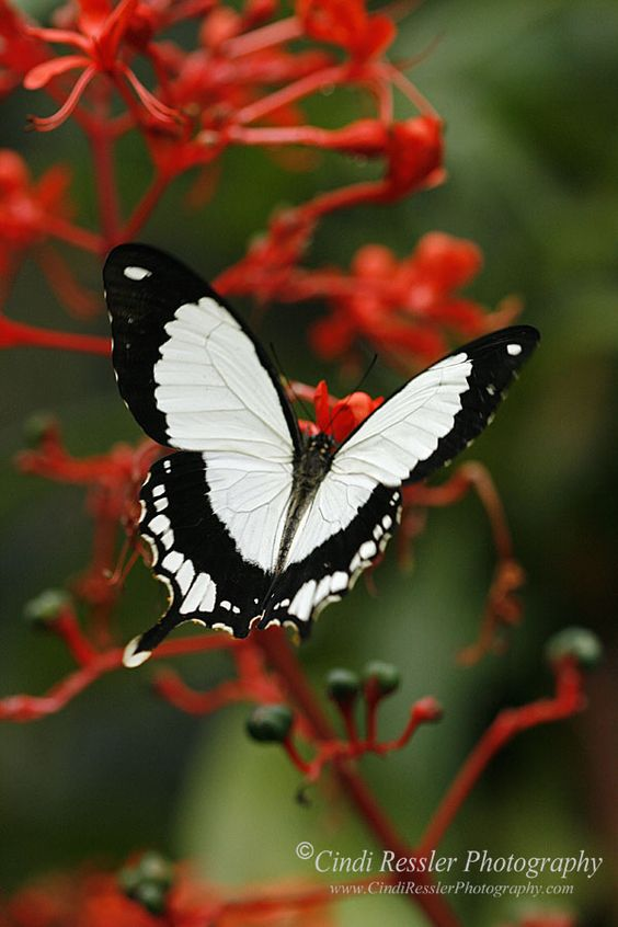 African Butterfly aka the flying handkerchief