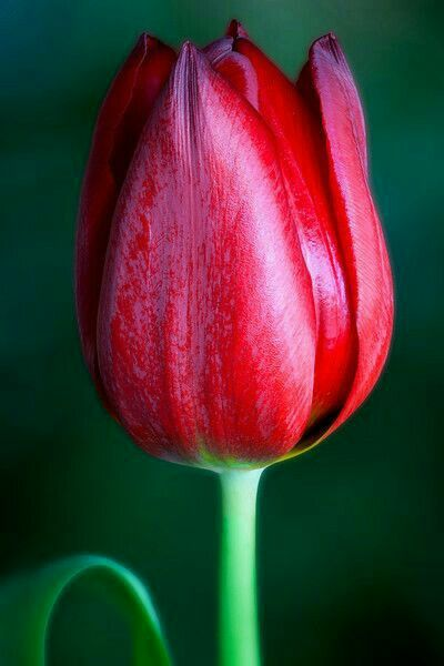 Pin By Vernise Snowball On Tulipanet Tulips Flowers Amazing Flowers Red Tulips Photography