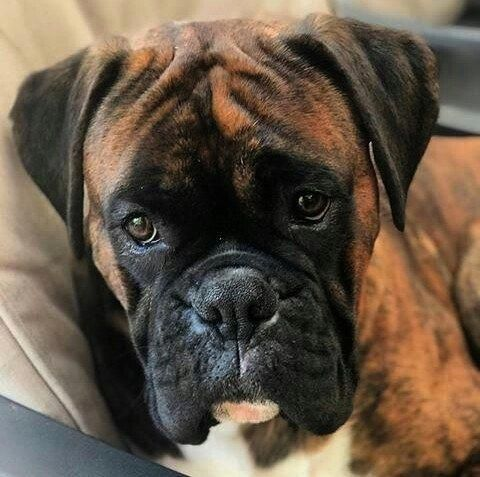 Boxer Energetic And Funny Brindle Boxer Puppies Boxer Dogs Boxer Dogs Brindle