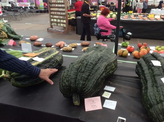 Hand for scale next to the giant #marrow @HarrogateFlower