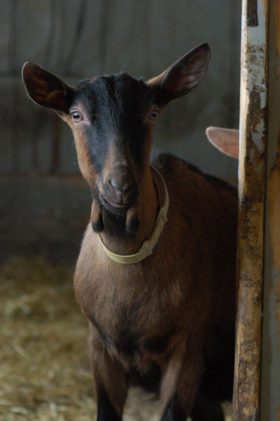 what a face!  french website - #goatvet Madame Gateau: Monsieur Émile et la chèvrerie