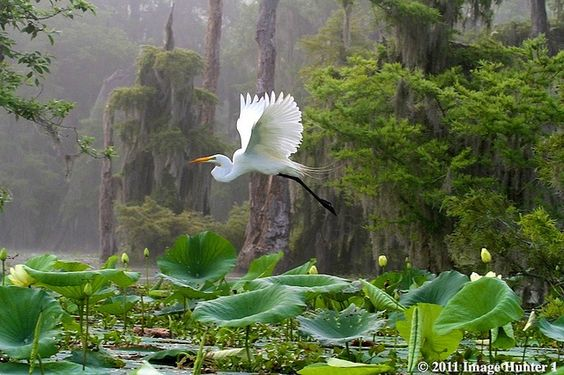 lake martin louisiana | Great Egret - Lake Martin, Louisiana - a photo on Flickriver: