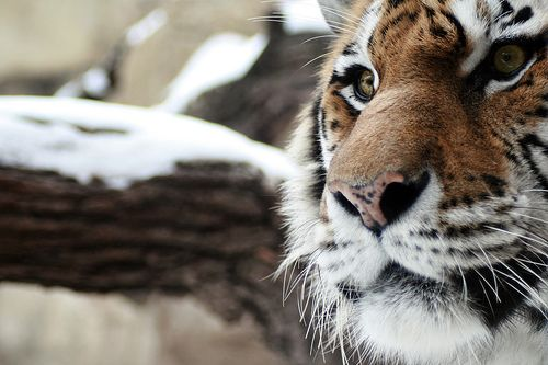 Strikingly powerful and endlessly beautiful. #tiger #wildlife #animals #nature #cats