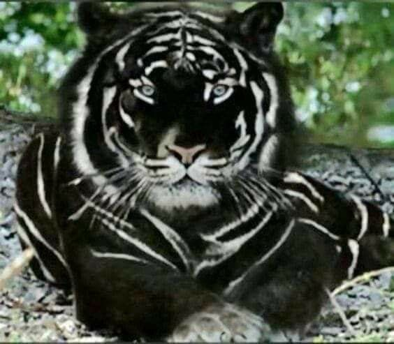 The Very Rare Black Tiger A Bengal Tiger With What Is Called Pseudo Melanism In 2020 Majestic Animals Rare Animals Black Tigers