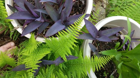 Purple Heart with Ferns
