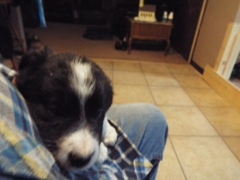 Litter Of 3 Border Collie Puppies For Sale In Hudsonville Mi Adn