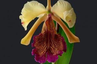 La orquídea Cattleya dowiana. Imagen cortesía del Jardín Botánico Lankester