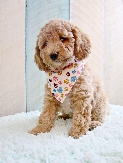 Cream Australian Labradoodle Puppy Labradoodle Labradoodle Puppy Australian Labradoodle