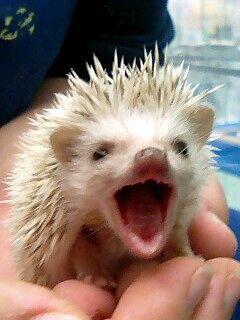 yawning hedgehog