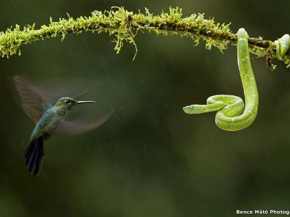 O fotógrafo húngaro premiado em vários países Bence Máté capturou esta 'encarada' entre uma víbora e um beija-flor na Costa Rica (Foto: Bence Máté Photography)
