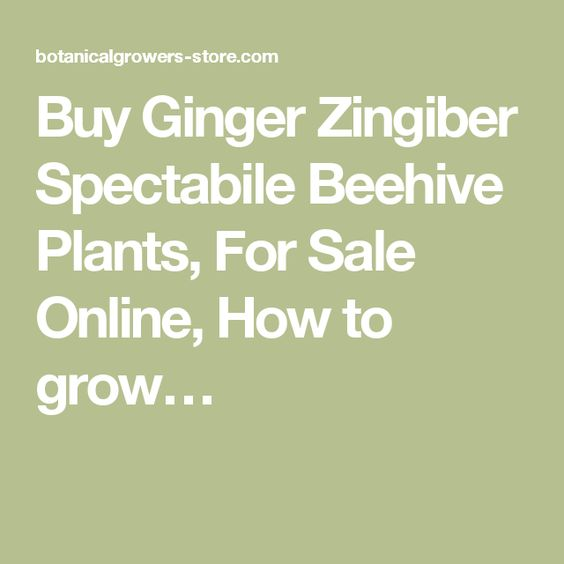 Buy Ginger Zingiber Spectabile Beehive Plants, For Sale Online, How to grow…