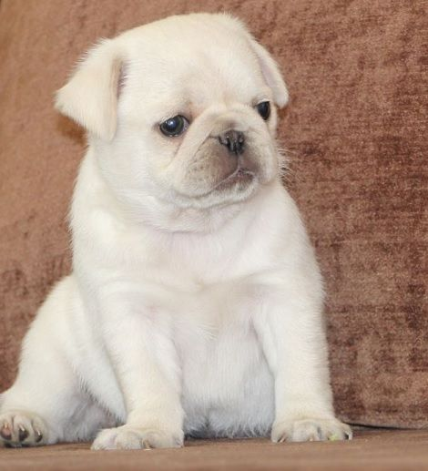 Cute White Pug Puppy | Animals | Pinterest | Filhotes de ...  White